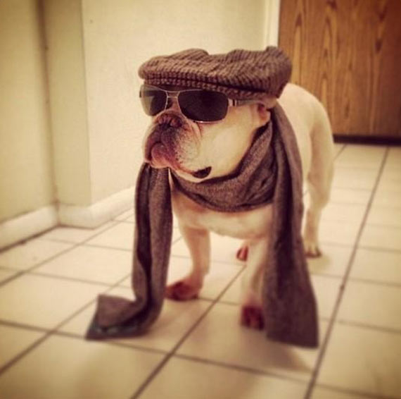 Bulldog in a scarf