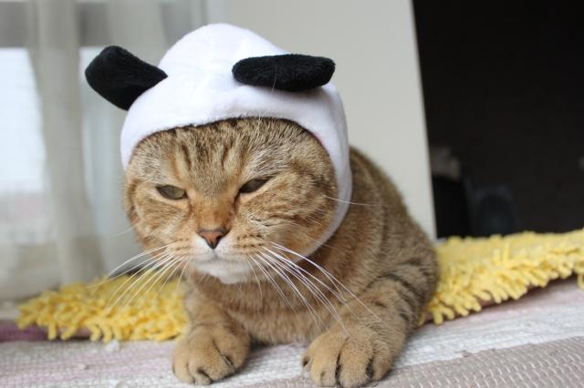 Cat in a panda hat