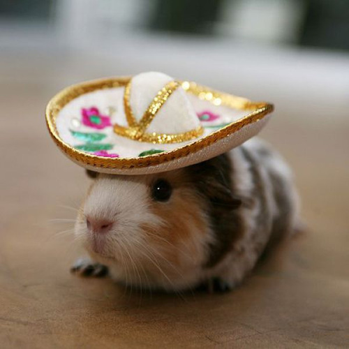 Guinea pig in hat