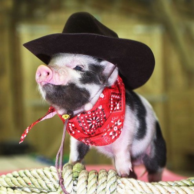 Pig in bandana